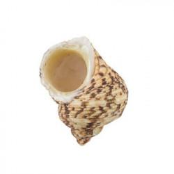 Turbo Chrysostomus, ракушки декоративные 5шт, 1.25-2.75 дюйма. Zlatka