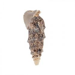 Cerethium Aloco, ракушки декоративные 5шт, 1.75-2.5 дюйма. Zlatka