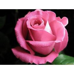 Роза, парфюмерная композиция 10мл
