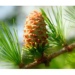 Хвойный лес, парфюмерная композиция 10мл