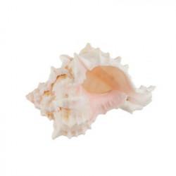 Pink Murex Asstd, ракушки декоративные 1шт, 1.25-3.25 дюйма. Zlatka